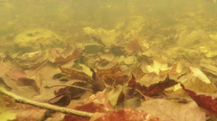 The mating season the grass frogs in March in beech forests Stock Footage