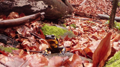 Salamander crawling on the leaves brown rot early spring in the mountain forests Stock Footage