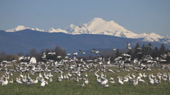 Snow Geese Flock in Skagit Valley Stock Footage