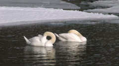 Two swans swimming in a lake among ice floes - stock footage
