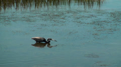 Tricolor Heron catching fish - stock footage