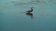 Tricolor Heron looking for fish - stock footage