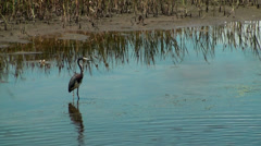 Tricolor Heron standing in the marsh Stock Footage
