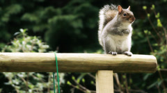 Squirrel sat looking at viewer Stock Footage