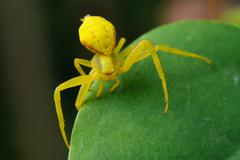 yellow spider on a green leaf. - stock photo