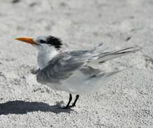 elegant tern seabird - stock photo