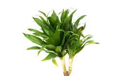 Dracaena plant isolated on the white background - stock photo