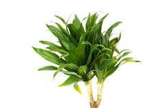 Dracaena plant isolated on the white background Stock Photos