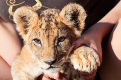 Baby lion animal close up head portrait Stock Photos