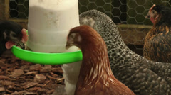 Chickens or hens feeding 7 - stock footage