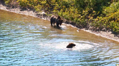 Grizzly Bear Cubs Glacier Park - stock footage