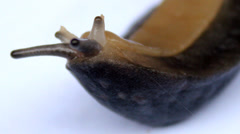 Brown Slug Stock Footage