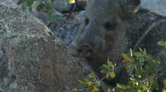 Javelina hanging out and Eating - 1 Stock Footage