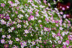 Closeup of gypsophila flower Stock Photos