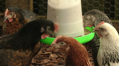 Hens or Chickens feeding 3 Stock Footage
