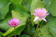 Stock Photo of water lily, lotus