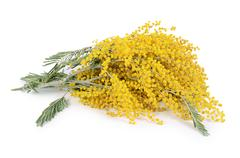 yellow mimosa  isolated on white background - stock photo