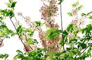 Cassia bakeriana craib Stock Photos