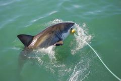 Great white shark attacking decoy 5 Stock Photos