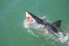 Great white shark attacking decoy 4 Stock Photos
