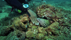 Scuba diver carefully strokes a Honeycomb moray eel Stock Footage