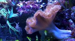 Sea anemone in aquarium Stock Footage