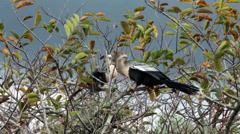 Everglades National Park Anhinga Birds roost HD 2236 Stock Footage