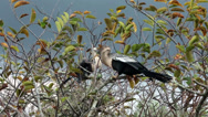 Stock Video Footage of Everglades National Park Anhinga Birds roost HD 2236