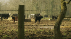 Rural scene - cattle - dolly Stock Footage