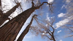 Cottonwood Trees in the American Southwest on the Colorado Plateau Stock Footage