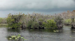Everglades National Park Cormorant Birds in tree HD 2075 Stock Footage