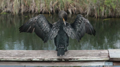 Everglades National Park Cormorant grooming feathers HD 2214 Stock Footage