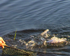 Trout being caught and placed in a net Stock Footage