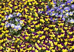Viola tricolor pansy Stock Photos