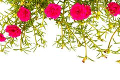 portulaca isolated background. - stock photo