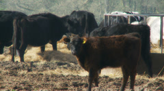 Cattle in Berkshire Stock Footage