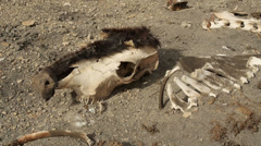 Stock Video Footage of Cow Bones and Skull from Drought Famine Global Warming and Disease