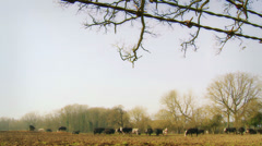 Barb wire dolly, cattle in distance Stock Footage