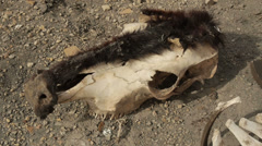 Cow Bones and Skull from Drought Famine Global Warming and Disease - stock footage