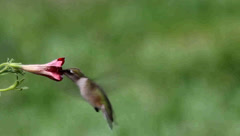 Juvenile Ruby-throated Hummingbird (archilochus colubris) in flight Stock Footage