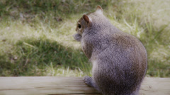 Fat Squirrel shows tail Stock Footage