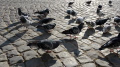 Flock of pigeons on a pavement Stock Footage