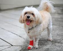 injured shih tzu - stock photo