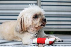 injured shih tzu leg - stock photo