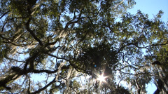 Trees, Live Oak Canopy LA slo pan/twirl right hold - stock footage