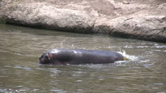 A hippo displaying anger and threat Stock Footage