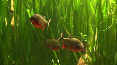 Red Piranhas among the seaweed Stock Footage