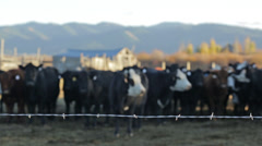 Cows stand in pasture with barbed wire fence in foreground - stock footage