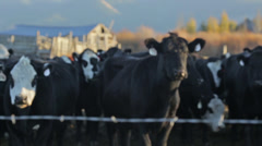 Cows stand in pasture with barbed wire fence in foreground Stock Footage