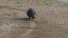 A hippo with a very small baby 1 Stock Footage